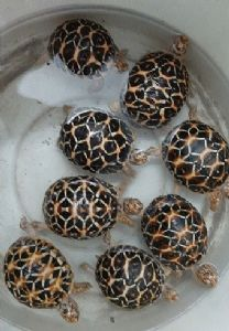 Endangered eight-star tortoises, turtle rescued in another raid