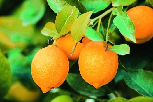 lemon prices _1&nbs