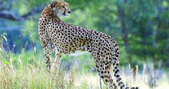African Cheetah_1&n
