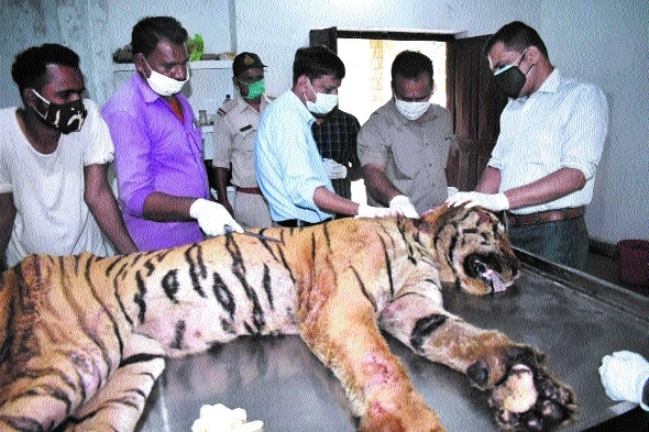 Injured Pench tiger_1&nbs