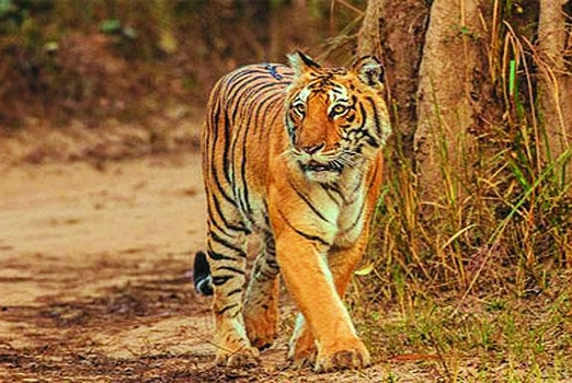 33 killed in tiger _1&nbs
